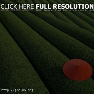 Зонтик, листья, кусты