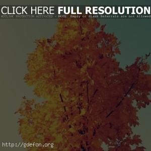 Осень, клён, жёлтый