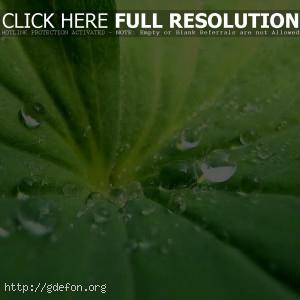 Роса, лист, зелень