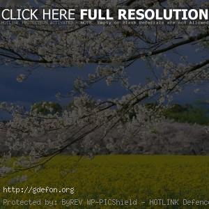 Япония, весна, поле