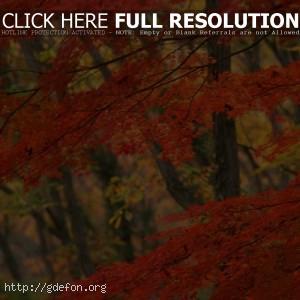 Япония, дерево, осень