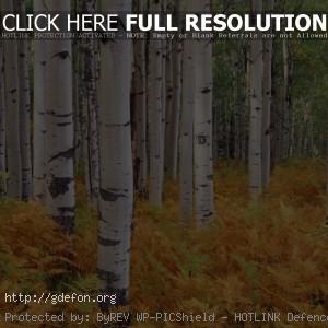 Лес, березы, осень, деревья