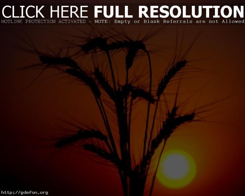 Обои Колосья, закат, солнце фото картики заставки