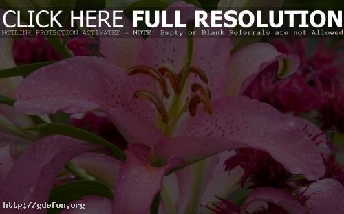 Обои Розовая лилия фото картики заставки
