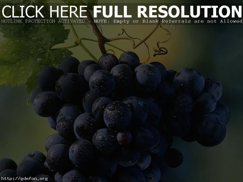 Обои красивая гроздь винограда фото картики заставки