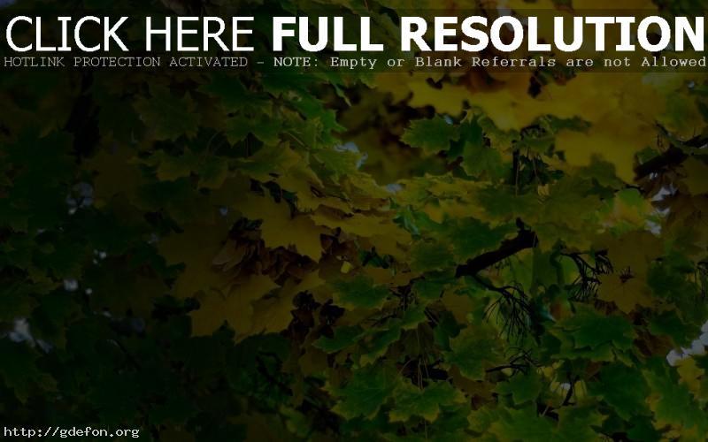Обои Пожелтевшие листья фото картики заставки