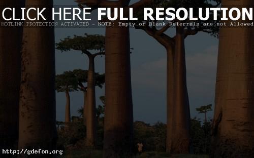 Обои Деревья, африка фото картики заставки
